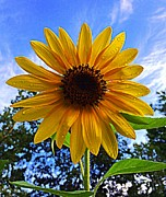 Paul  Wilford - Sunshower Sunflower