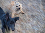 Cairn Terrier Photos - Super Dog by JFantasma Photography