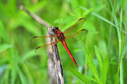 Dragon Fly Photo Framed Prints - Superb Skimmer Framed Print by Al Powell Photography USA