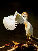 Bird Watcher Posters - Suprised Cattle Egret Poster by Robert Frederick