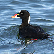 Portratit Posters - Surf Scoter Poster by Bob and Jan Shriner