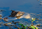 Alligator Bayou Photos - Surface Tension by David Mortenson