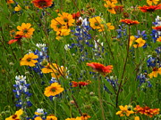 Wild Flowers Of Texas Photos - Surprise Visit by Joe Jake Pratt