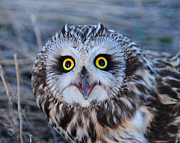 Owl Photo Metal Prints - Surprised Metal Print by Christopher Balmer