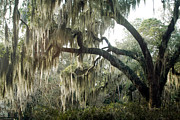 Savannah Dreamy Photography Photos - Surreal Gothic Savannah Georgia Trees with Hanging Moss by Kathy Fornal