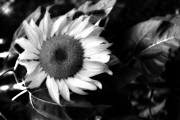 Sunflower Art Posters - Surreal Haunting Black and White Sunflower Poster by Kathy Fornal