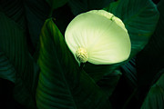 Marilyn Hunt - Surreal Peace Lily