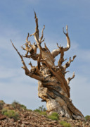 Lone Pine Framed Prints - Survival Expert Bristlecone Pine Framed Print by Christine Till