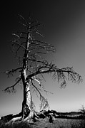 Monochrome Framed Prints - Survival Tree Framed Print by Chad Dutson