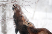 Alaska Wildlife Photos - Surviving by Ron Day