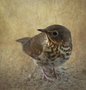 Thrush Prints - Swainsons Thrush Print by Angie Vogel