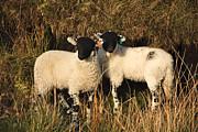 Swaledale Lambs Print by Dorcas Eatch