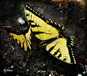 Vlinder Prints - Swallow Tail Butterflies Print by Lj Lambert