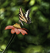 Bill Baer - Swallow Tail Butterfly