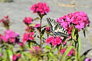 Dave Woodbridge Metal Prints - Swallow Tail Metal Print by Dave Woodbridge