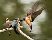 Feeding Photographs Prints - Swallows Feeding 4 Print by Kenneth Haley