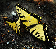 Vlinder Prints - Swallowtail Butterflies Print by Lj Lambert