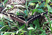 Jaxs Powell - Swallowtail Butterfly 1