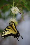 Tannis  Baldwin - Swallowtail Butterfly 1