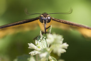 Swallowtail Framed Prints - Swallowtail Butterfly Framed Print by Adam Romanowicz