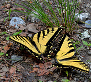 Swallowtail Butterfly Couple Print by Eva Thomas