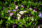Gardens And Flowers - Swallowtail Butterfly by Crystal Wightman
