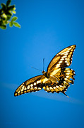 Butterfly In Flight Prints - Swallowtail Butterfly in Flight Print by Alan Rodriguez