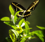 Saija  Lehtonen - Swallowtail Butterfly in...