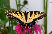 James Brunker - Swallowtail Butterfly