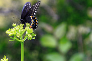 Lorri Crossno Metal Prints - Swallowtail Butterfly Metal Print by Lorri Crossno