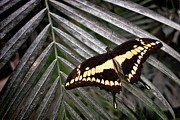 Papilio Thoas Framed Prints - Swallowtail Butterfly Framed Print by Olivier Le Queinec