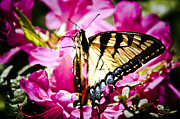 Debra Crank - Swallowtail Butterfly on...