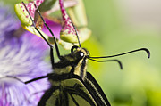 Passionflower Prints - Swallowtail Butterfly Print by Priya Ghose