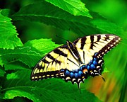 Swallowtail Photos - Swallowtail by Carol R Montoya