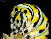 Metamorphism Posters - Swallowtail Caterpillar 2 Poster by JFantasma Photography