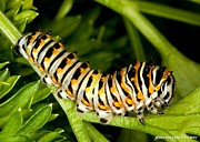 Metamorphism Posters - Swallowtail Caterpillar Poster by JFantasma Photography