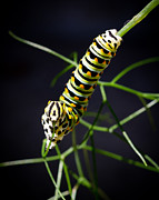 Instar Posters - Swallowtail Caterpillar Poster by Priya Ghose