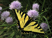 Judy  Johnson - Swallowtail on Chives