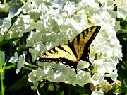 Hydrangea Posters - Swallowtail on White Hydrangea Poster by Susan Savad