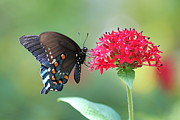 Pamela Gail Torres Metal Prints - Swallowtail Metal Print by Pamela Gail Torres