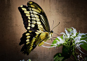 Yellow Bugs Prints - Swallowtail Print by Saija  Lehtonen