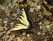 David Yunker - Swallowtails