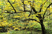 Allegheny River Prints - Swamp Birch in Autumn Print by Thomas R Fletcher