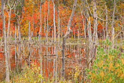 Indiana Autumn Framed Prints - Swamp Colors Framed Print by Mary Carol Story