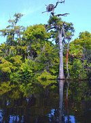 Louisiana Swamp Photos - Swamp Land by Carey Chen