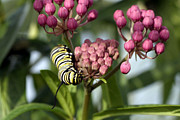 Swamp Milkweed Photos - Swamp Milkweed and Monarch Butterfly Caterpiller  by Gene Walls