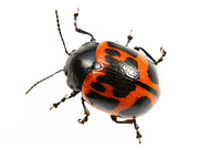 Neighbours Posters - Swamp Milkweed Beetle Poster by JP Lawrence