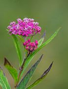 Swamp Milkweed Photos - Swamp Milkweed by Jim Zablotny