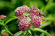 Swamp Milkweed Photos - Swamp Milkweed by Paul Mashburn