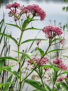 Swamp Milkweed Framed Prints - Swamp Milkweed - Wildflower Framed Print by Patricia Januszkiewicz